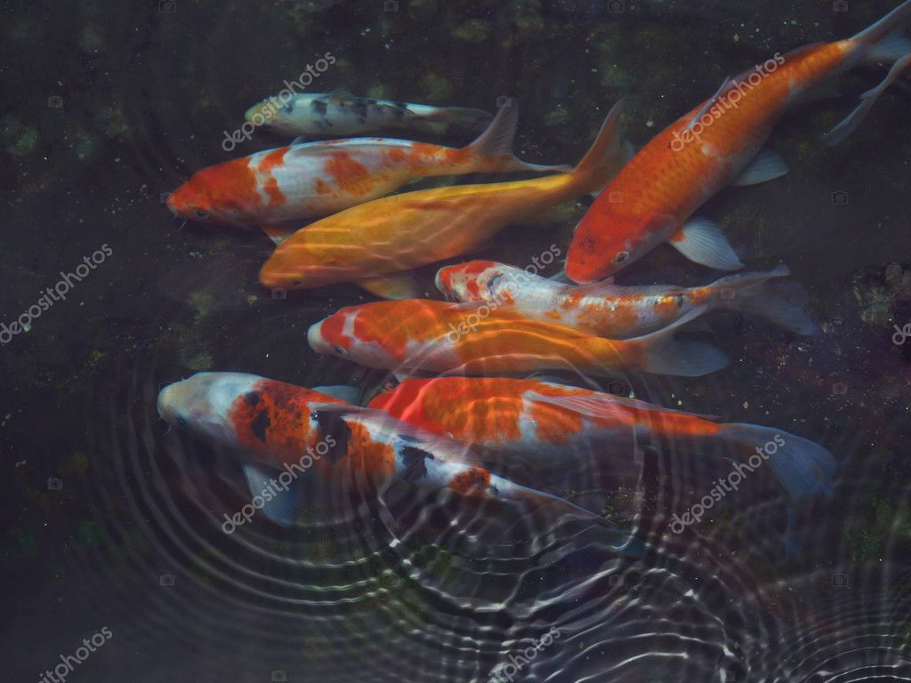 Koi fish with water ripple stock photo luckypic 9859787 for Koi fish water