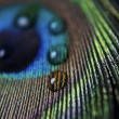 Peacock feather and droplets — Stock Photo