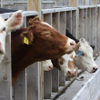 Постер, плакат: Cows in Transfer Holding Pen