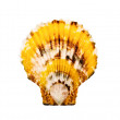 Spotty scallop. - Stockfoto
