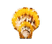 Spotty scallop. — Stock Photo