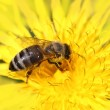 Honeybee on yellow flower — Stock Photo #10695319