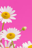 Daisy flower on pink background — 图库照片
