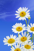 Daisy flower against blue sky — Stock Photo