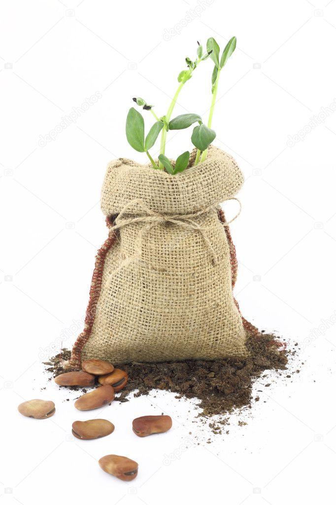 Planta de habas en un saco de arpillera foto de stock - Saco arpillera ...