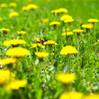 Dandelions on a green meadow - Stock Photo