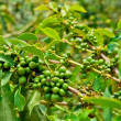 Unripe coffee beans on stem in Vietnam plantation — Stock Photo