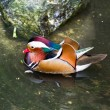 Stock Photo: Mandarin Duck (Aix galericulata) male