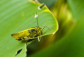 Grasshopper Feeding — Stock Photo