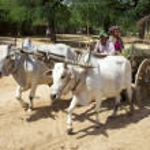 Ox Cart in Bagan, Myanmar — Stock Photo