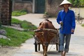 Vietnamese Villager with Water Buffalo — Stock Photo