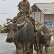 Stock Photo: Vietnamese Children Riding Water Buffalo