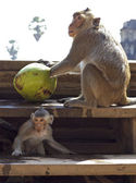Monkeys with Coconut — Stock Photo