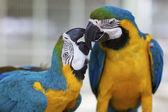 Macaw Parrots — Stock Photo
