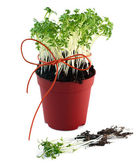 Cress seedlings — Stock Photo
