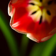 Soft abstract image of red tulip — Stock Photo