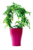 Jasmin pflanze im topf — Stockfoto