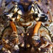 Cuban lobster eyes closeup (Panulirus argus) — Stock Photo