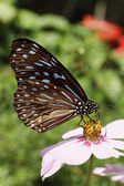 Thailand, Chang Mai, tropical butterfly on a flower — Stock Photo