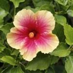 Thailand, Koh Samui, tropical flower — Stock Photo