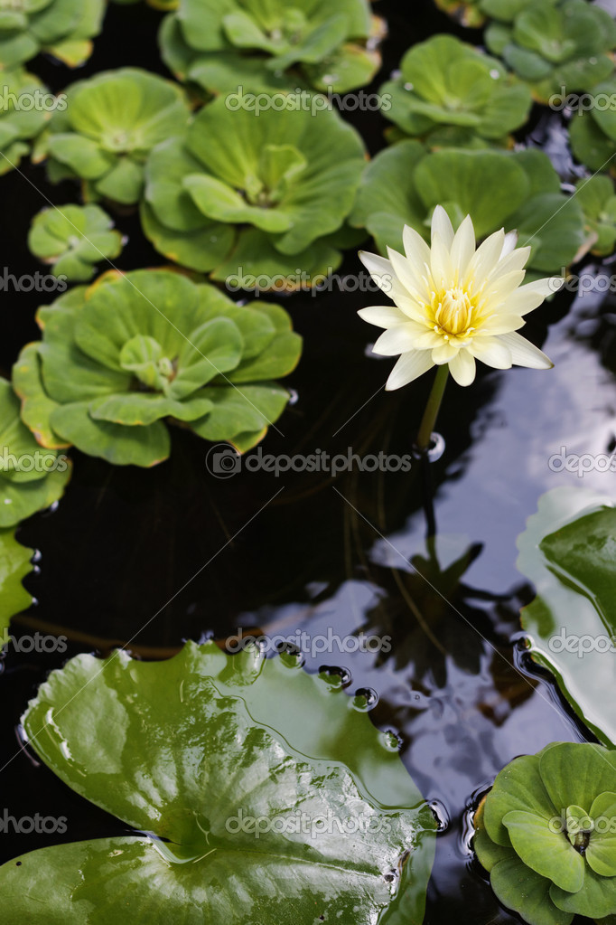 Thailand, Koh Samui, tropical flower  Stock Photo #9018735
