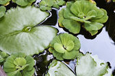 Thailand, Koh Samui (Samui Island), water-lily — Stock Photo