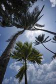 Thailand, Koh Samui (Samui Island), coconut palm trees on the beach — Stok fotoğraf