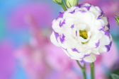 Lisianthus flower on bright background — Stock Photo
