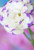 Lisianthus flower — Stockfoto
