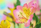 Pink alstroemeria flower — Stock Photo