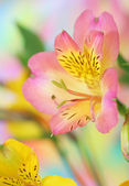 Alstroemeria flower — Stock Photo