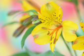 Yellow alstroemeria flower — 图库照片