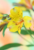 Yellow alstroemeria flower — ストック写真