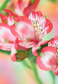 Red alstroemeria flower — 图库照片