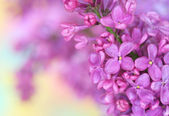 Lilac on pastel background — Stock Photo