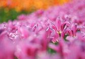 Tulipani rosa — Foto Stock