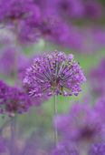 Allium — Foto de Stock