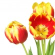 Tulips isolated on white background — Photo