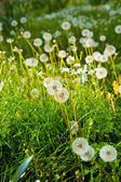 Meadow of Dandelions close up — Stock Photo