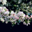 blossom tree — Stock Photo