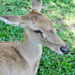 Deer in a zoo in Thailand - Stock Photo