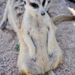 Stock Photo: Meerkat or Suricate, in zoo