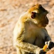 The animal life of a monkey — Stock Photo #8229342