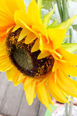 Yellow sunflowers in bloom — Stock Photo