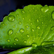 Green Lotus leaf with water drop as background — Stock Photo