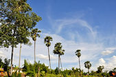 Many coconut trees in the background is the sky — Стоковое фото