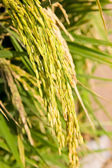 The rice grain — Stock Photo