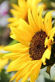 The beauty of a sunflower — Stockfoto