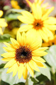 The beauty of a sunflower — Stock Photo