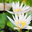 Two white lotus flowers — Stock Photo